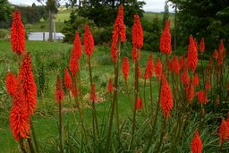 Kniphofia Very large red - 2m.